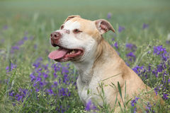Gorgeous American Pit Bull Terrier in flowers. Gorgeous American Pit Bull Terrier in purple flowers Royalty Free Stock Image