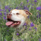 Gorgeous American Pit Bull Terrier in flowers Royalty Free Stock Photography