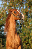 Gorgeous arabian horse prancing in the evening Royalty Free Stock Photos