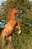 Gorgeous arabian horse prancing in the evening Stock Photos