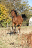 Gorgeous arabian horse running on autumn pasturage Royalty Free Stock Photography