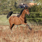 Gorgeous arabian horse running on autumn pasturage Stock Photography