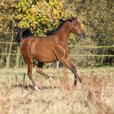 Gorgeous arabian horse running on autumn pasturage Stock Images