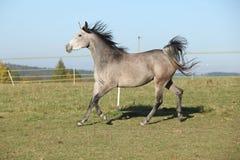 Gorgeous arabian horse running on autumn pasturage Stock Photo
