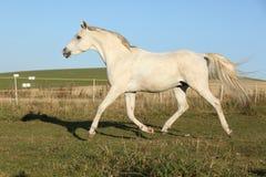 Gorgeous arabian horse running on autumn pasturage Royalty Free Stock Photography