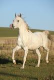 Gorgeous arabian horse running on autumn pasturage Royalty Free Stock Image