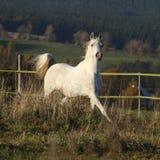 Gorgeous arabian horse running on autumn pasturage Royalty Free Stock Images