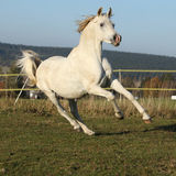 Gorgeous arabian horse running on autumn pasturage Royalty Free Stock Photo