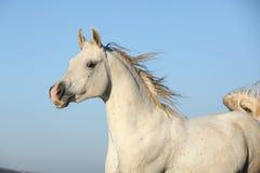 Free Gorgeous Arabian Horse Running On Autumn Pasturage Stock Image - 34897251