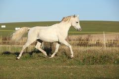 Free Gorgeous Arabian Horse Running On Autumn Pasturage Stock Images - 35040624