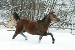 Gorgeous arabian horse running in winter Stock Photography
