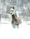 Gorgeous arabian horse running in winter Royalty Free Stock Photos
