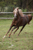 Gorgeous arabian stallion with long flying mane Royalty Free Stock Photo