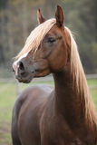 Gorgeous arabian stallion with long mane Stock Image
