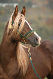 Gorgeous arabian stallion with long mane Royalty Free Stock Photos