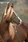 Gorgeous arabian stallion with long mane Royalty Free Stock Photos