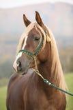 Gorgeous arabian stallion with long mane Stock Photos