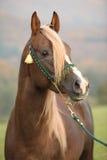 Gorgeous arabian stallion with long mane Stock Image
