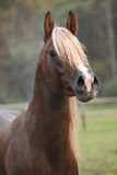 Gorgeous arabian stallion with long mane Royalty Free Stock Image