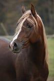 Gorgeous arabian stallion with long mane Stock Photo