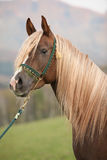 Gorgeous arabian stallion with long mane Stock Photos