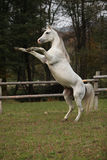 Gorgeous arabian stallion prancing Stock Images