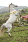 Gorgeous arabian stallion prancing Royalty Free Stock Image