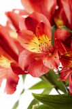 Gorgeous arrangement of a grou. P of red flowers isolated on white Stock Photo