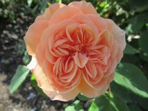 Gorgeous & Attractive Light Orange Rose Flowers Blossom In Vancouver Q.E Park Garden. Gorgeous & Attractive Light Orange Rose Flowers blossom In Vancouver Q.E royalty free stock photo