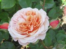 Gorgeous & Attractive  Light Orange Rose Flowers Blossom In Vancouver Q.E Park Garden. Gorgeous & Attractive Light Orange Rose Flowers blossom In Vancouver Q.E stock image