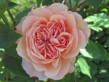 Gorgeous & Attractive Light Orange Rose Flowers Blossom In Vancouver Q.E Park Garden. Gorgeous & Attractive Light Orange Rose Flowers blossom In Vancouver Q.E stock photo