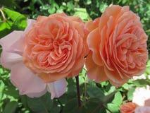 Gorgeous & Attractive Orange Rose Flowers Blossom In Vancouver Q.E Park Garden. Gorgeous & Attractive Orange Rose Flowers blossom In Vancouver Q.E. Park Garden stock image