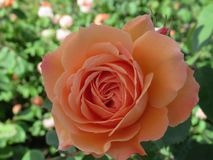 Gorgeous & Attractive Orange Rose Flowers Blossom In Vancouver Q.E Park Garden. Gorgeous & Attractive Orange Rose Flowers blossom In Vancouver Q.E. Park Garden royalty free stock photo