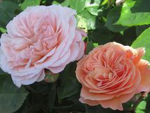 Gorgeous & Attractive Pink/ Light Orange Rose Flowers Blossom In Vancouver Q.E Park Garden. Gorgeous & Attractive Pink/ Light Orange Rose Flowers blossom In stock photos