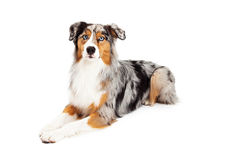 Gorgeous Australian Shepherd Dog Laying Royalty Free Stock Images