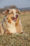 Gorgeous Australian Shepherd Dog in nature Stock Photos