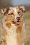 Gorgeous Australian Shepherd Dog in nature Stock Images