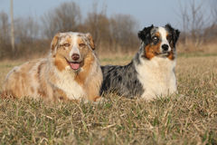Gorgeous Australian Shepherd Dogs in nature Stock Images