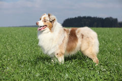 Gorgeous australian shepherd in nature