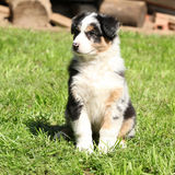 Gorgeous australian shepherd puppy in the garden Royalty Free Stock Photo
