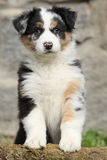 Gorgeous australian shepherd puppy looking at you Royalty Free Stock Photos