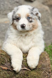 Gorgeous australian shepherd puppy looking at you. In front of stone wall Stock Photos
