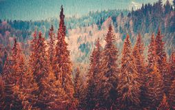 Gorgeous autumn landscape with pine trees forest Stock Photo