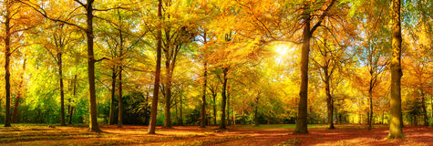 Gorgeous autumn panorama of a sunny forest. Gorgeous autumn landscape panorama of a scenic forest with lots of warm sunshine Royalty Free Stock Images
