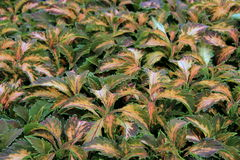Gorgeous background of colorful Coleus plants Stock Photo