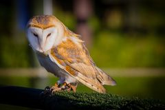 Beautiful Barn Owl stock photos