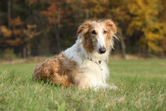 Gorgeous barzoi in autumn Stock Photography