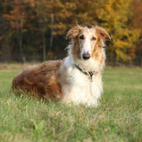 Gorgeous barzoi in autumn Stock Photo