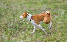 Gorgeous basenji Royalty Free Stock Photos