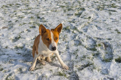 Gorgeous basenji dog sitting on snow covered lawn and ready to play Royalty Free Stock Photography